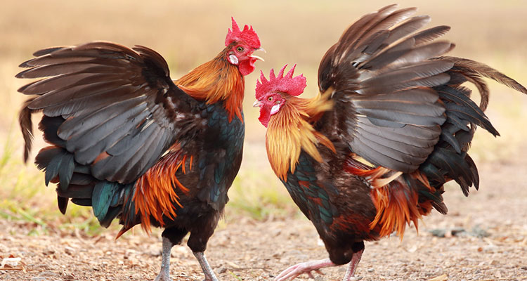 Judi-Sabung-Ayam-Online